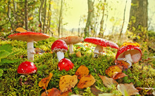 Fly Agaric Toadstool In A Autu...
