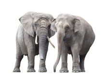 Pair Of Elephants Isolated On White Background