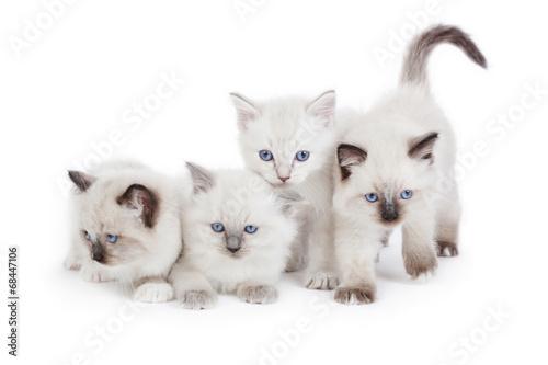 Valokuva Cute Ragdoll kittens