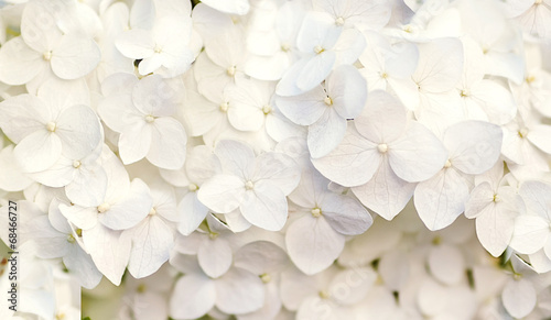 Foto op Canvas Hydrangea beautiful floral background in blue colors