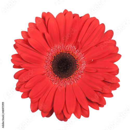 Foto auf Gartenposter Gerbera Red gerbera isolated