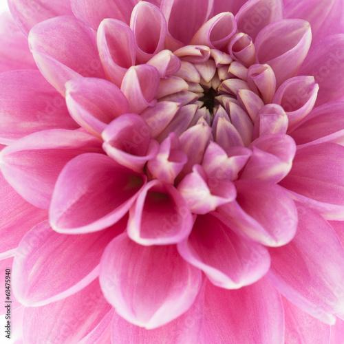 Poster de jardin Dahlia Pink dahlia close-up