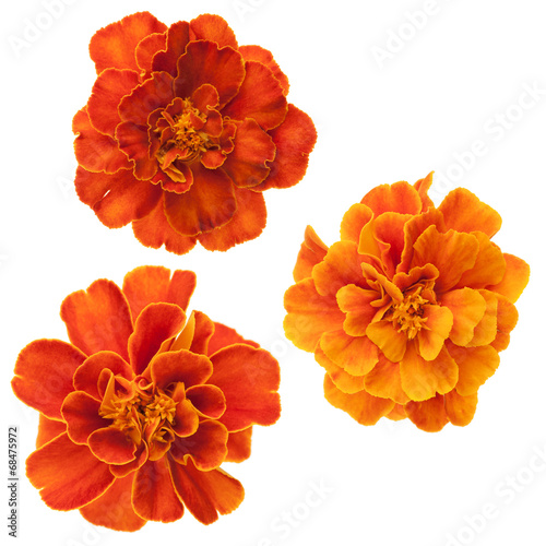 Foto op Canvas Madeliefjes Three french marigolds