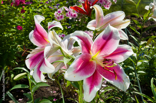 Foto pink lily flowers blooming on the garden