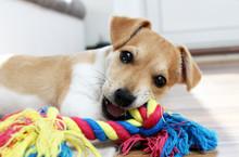 Jack Russel Terrier Welpe Kaut...