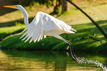 White Egret Taking Off On A Lake