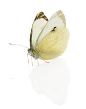 Cabbage Butterfly Isolated On The White Background