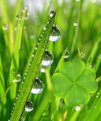 Panel Szklany Podświetlane Eko Fresh dewy green grass with clover leaf