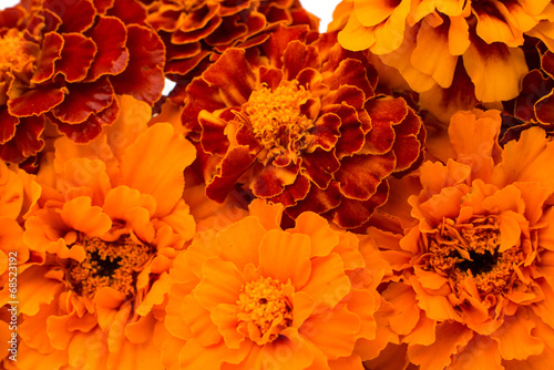 Marigold flower Wallpaper Mural
