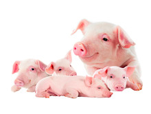 The Sow With Its Pink Piglets....