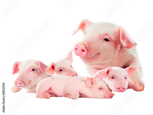 Fotografía The sow with its pink piglets. isolated on white.