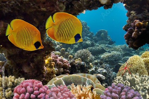 Poster Coral reefs Masked Butterfly Fish