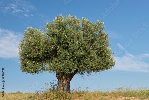 Foto op Canvas Olijfboom Lone Olive Tree