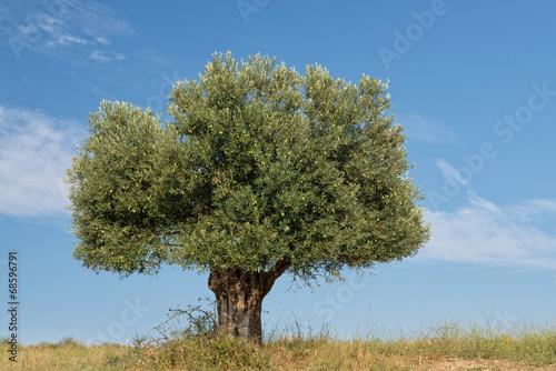Keuken foto achterwand Olijfboom Lone Olive Tree