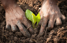 Hands Planting A Seedling Into Soil
