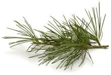 Pinus Sylvestris Scots Pine Wa...