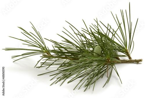 Fotografia, Obraz  Pinus sylvestris Scots pine Waldkiefer Sosna zwyczajna