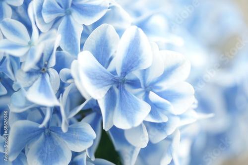 Deurstickers Hydrangea Hydrangea