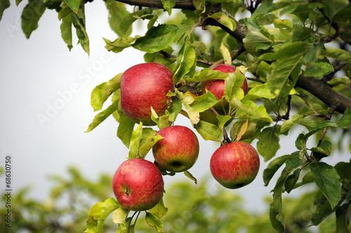 Photo Frische Äpfel am Baum