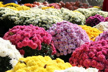 Sea Of Colorful Fall Mums For ...