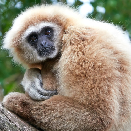 Valokuva Lar gibbon (Hylobates lar)