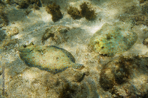 Couple of Peacock flounder fish on the seabed Fototapeta