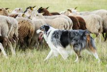 Border Collie Dog Herding A Fl...