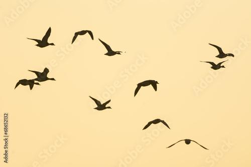 Recess Fitting Bird Tadorne de Belon (Tadorna tadorna - Common Shelduck) en baie de