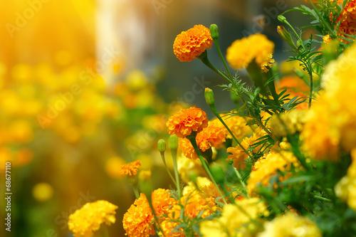 Pinturas sobre lienzo  Beautiful Marigolds (tagetes)