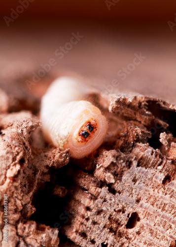 Holzwurm Kaufen Sie Dieses Foto Und Finden Sie Ahnliche Bilder Auf