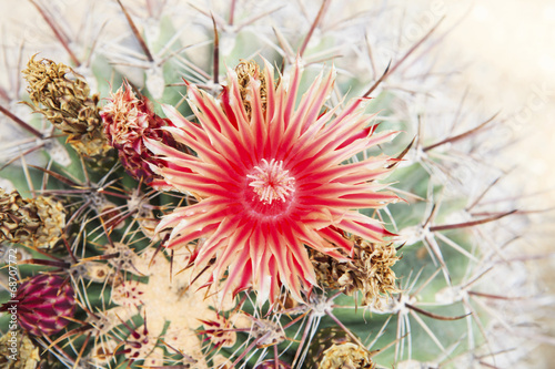 close up of red cactus flowers petal Canvas