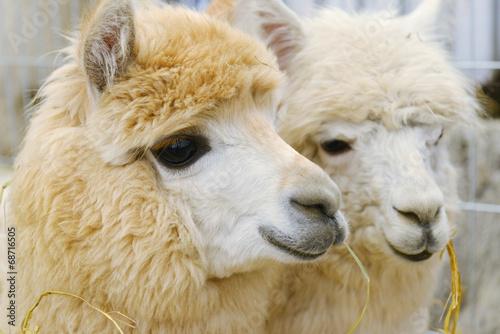 Poster Lama two fluffy alpacas