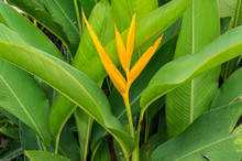Beautiful Vivid Orange Flower - Bird Of Paradise