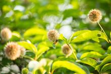Bee On Buttonbush