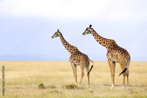 Staande foto Afrika Giraffes on the Masai Mara in Africa