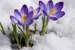 Leinwandbild Motiv crocuses in snow