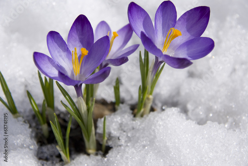 Spoed Foto op Canvas Lente crocuses in snow