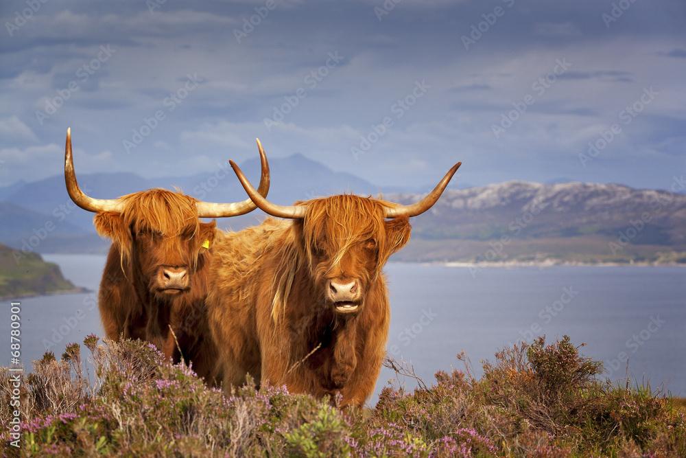 Fototapeta Scottish Cow IV