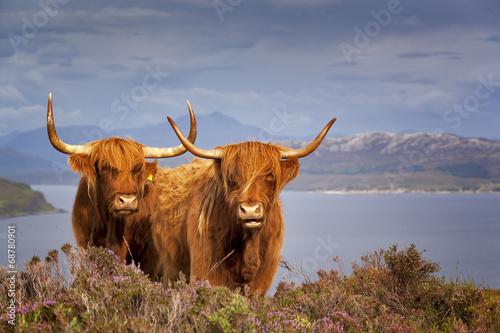 Fototapeta Scottish Cow IV obraz