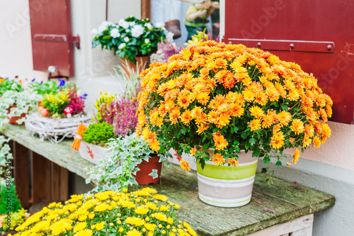 Obraz na płótnie Beautiful chrysanthemums in pots, outdoors