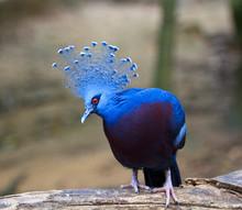 Exotic Bird Called Goura Victoria