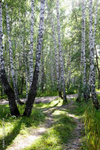 brzozowy-las-w-rosji