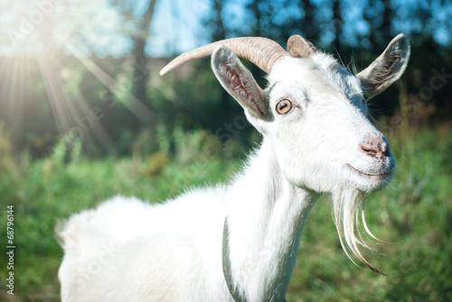 Poster Heuvel Funny goat's portrait