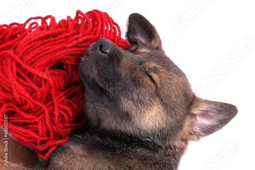 Puppy sleeping on a hank of red yarn isolated on white Poster