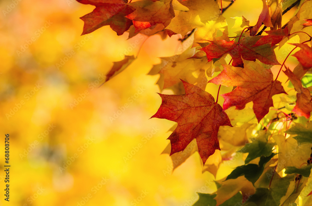 Fototapety, obrazy: Colorful autumn maple leaves on a tree branch