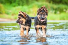 Two German Shepherd Puppies Ru...