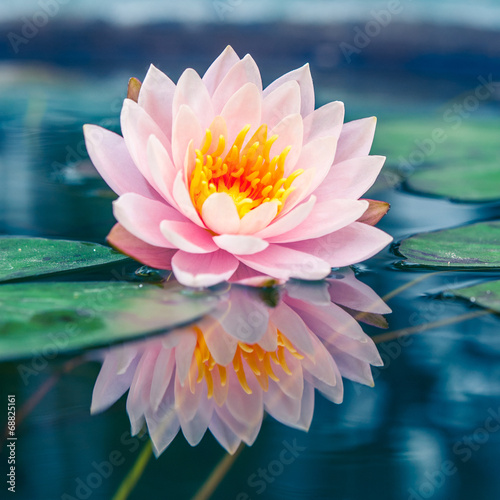 A beautiful pink waterlily or lotus flower in pond Wallpaper Mural