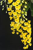 Yellow orchid, Honey fragrant orchids
