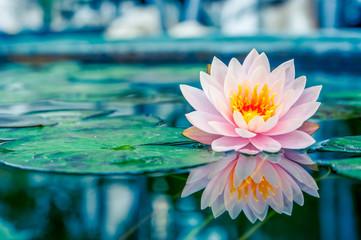 Prekrasan ružičasti lotos, vodena biljka s odrazom u ribnjaku