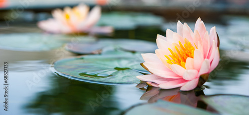 Tuinposter Waterlelies Beautiful Pink Lotus, water plant in a pond